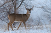 Whitetail (janelle.streed) Tags: whitetail deer whitetaileddeer whitetailed wildlife animal mammal nature outdoors minnesota photography rut buck stag