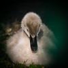 Black swan cygnet (KWaterhouse) Tags: swan cygnet blackswan baby feather grey gray young delicate water fowl waterbird lakeland florida polkcounty nikond5300