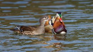 Family portrait (2/2) : Madarin ducks