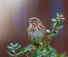 Sweet Melody. (Omygodtom) Tags: songsparrow wild wildlife nature natural nikkor nikon d7100 contrast existinglight bokeh bird fun 7dwf nikon70300mmvrlens tannersprings usgs ngs ngc portrait colours pose