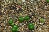 19/01/2018 - Didymaotus lapidiformis, 30 jours (Mafate79) Tags: 2018 didymaotuslapidiformis didymaotus lapidiformis aizoaceae aizoacées aizoacée mesemb mesembryanthemaceae mesembryanthemacées mesembryanthemacée plante semiss17057