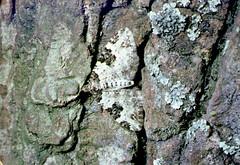 Garden Carpet moth on coarse bark (Philip_Goddard) Tags: nature naturalhistory animals invertebrates insecta insects lepidoptera moths geometridae xanthorhoe xanthorhoefluctuata gardencarpet europe unitedkingdom britain british britishisles greatbritain uk england southwestengland