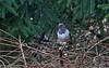 Schwarzkehldrossel (Turdus atrogularis) (Frank Wil.) Tags: selten birds wildlife
