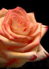Rose (mahar15) Tags: rose flower singlerose singleflower macro