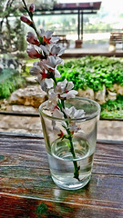 Good morning world... (Mike Goldberg) Tags: jerusalemvicinity almond blossom tree flowering sprig glass water lg g6 hdr mikegoldberg hss