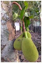 Jackfruit (Abraham Jacob N) Tags: jackfruit fruit kottayam kerala india