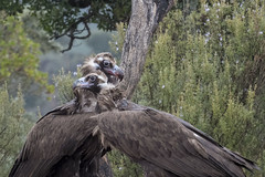 Black vulture - SIerra de Anujar - Spain (wietsej) Tags: black vulture sierra de anujar spain sony rx10 iv rx10m4 monniksgier andalusia bird prey rx10iv