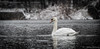 Swan in the snow (Melissa M McCarthy) Tags: muteswan swan bird waterfowl waterbird white snow snowfall snowing winter dark animal nature outdoor wildlife stjohns newfoundland canon7dmarkii canon100400isii
