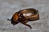 Anomala pallida (GeeC) Tags: animalia anomala arthropoda beetles cambodia coleoptera insecta kohkongprovince nature rutelinae scarabbeetles scarabaeidae scarabaeoidea tatai anomalapallida