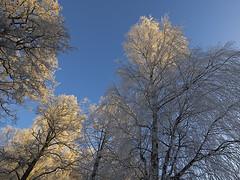 _MAL3377 (Markoliini) Tags: nature natur luonto nikon tamron 1530 trä puu koivu björk birch taivas himmel vinter winter talvi