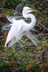 Great egret (Ardea alba) in breeding plumage at Venice Rookery, Venice, Florida (diana_robinson) Tags: greategret ardeaalba whiteegret greatwhiteegre breedingplumage venicerookery venice florida