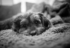 2/52 - Rest up sleepy head. (Kirstyxo) Tags: teddy cute sweet portrait sleepy 252 52weeksfordogs 52weeksfordogs18 52weeksfordogs2018
