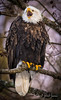 DSC_7945.jpg (~ Bob ~) Tags: americanbaldeagle nooksack majestic birdofprey flight eliteworldwidebirds eliteraptors bird talons washington deming winter baldeagle washingtonstate wildlife