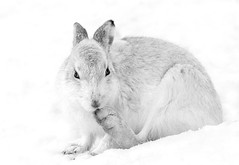 Mountain Hare (Chas Moonie-Wild Photography) Tags: mountain hare wild scotland mammal snow highlands