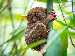 Tarsier in Bohol, Philippines (TeunJanssen) Tags: bohol philippines asia southeastasia travel traveling worldtravel backpacking olympus omd em10 tarsier animal monkey sanctuary visayas 75mm