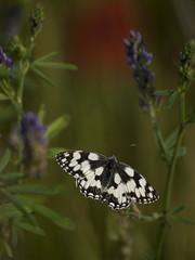 Accro à la luzerne (Titole) Tags: papillon butterfly demideuil titole nicolefaton échiquier blackandwhite