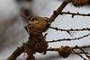 Redpoll. (stonefaction) Tags: angus scotland birds nature wildlife lesser redpoll montreathmont forest