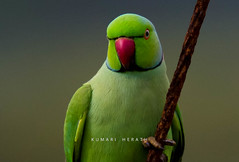 Eye Contact (kumherath) Tags: kumariherathphotography canon5dmark3 sigma150600sports parrot green 7dwf crazytuesdaytheme eyecontact