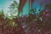 Begonias (fs999) Tags: fs999 fschneider aficionados pentax ist starist pentaxist pentaxian justpentax 35mm film 24x36 camera 135 filmcamera ashotadayorso topqualityimage topqualityimageonly artcafe pentaxart corel paintshoppro paintshoppro2018ultimate 2018ultimate adox colorimplosion implosion 400iso négatif couleur color negative negativ tetenal colortec c41 home development plustek opticfilm 120 scanner 1600dpi silverfast ai studio soligorcdwideauto20mmf28 soligor soligor20 wide auto wideauto 20mm