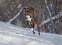 Bruno (piano62) Tags: dogs dogrescue mansbestfriend crazy joy fun snow chicago chicagoriver winter 2018