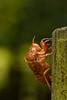 蝉 (Hachimaki123) Tags: 虫 nara 奈良 萬葉植物園 manyobotanicalgardens 日本 japan animal 動物 insect insecto 蝉 cicada cigarra mudadecigarra exuvia