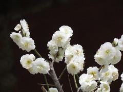 Plum Blossom Festival in Yushima Shrine (walking.biking.japan) Tags: plumblossoms tokyo bunkyoku shrine flowers