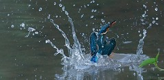 Common Kingfisher use tremendous effort as if an explosive force underwater to propel  itself out of the water (angchengsan9) Tags: alcedoatthis greatphotographers birds flight kingfisherinflight birdsinflight