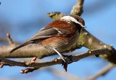 Chestnut-backed Chickadee (linda long) Tags: birds avian chickadees chestnutbacked songbirds perching backyardbirds nature wildlife oregonbirds willamettevalley