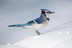 Blue Jay (NicoleW0000) Tags: bluejay jay bird songbird corvidae snow winter blue white