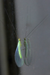 Green Lacewing Chrysopa carnea (agg) (Griffins Photos) Tags: lacewing reflection insect green australia
