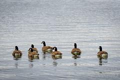 Northbound Ducks (ScottWoodPhotos) Tags: lake exploringthefrontier ducks water