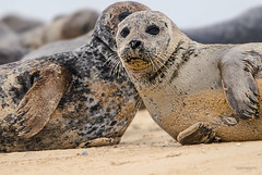 taking the limelight (jeff.white18) Tags: pink commonseal seal mamal beach eyes nature norfolk wildlife portrait flickr