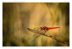 Sympetrum rouge-sang | Symptetrul sanguineum (BerColly) Tags: france auvegne puydedome insecte insect libellule dragonfly sympetrumsanguineum bokeh summer été bercolly google flickr