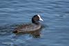 Coot D85_0079.jpg (Mobile Lynn) Tags: coot birds nature wild bird fauna gruiformes wildlife elejido andalucía spain es