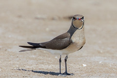 Glaréole à collier (gilbert.calatayud) Tags: charadriiformes collaredpratincole glareolapratincola glaréoleàcollier glaréolidés bird oiseau delta de l ebre espagne