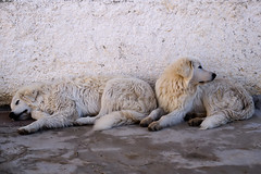 Cani da pastore (Weingarten) Tags: italy italie italien italia puglia pouilles apulien apulia murge