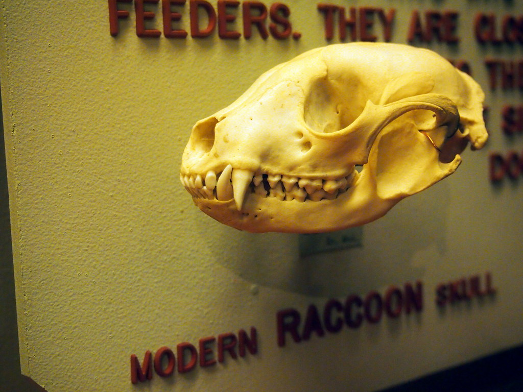 The World's Best Photos of raccoon and skull - Flickr Hive Mind