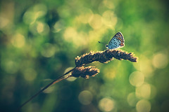 Bläuling im Wiesenbokeh. (Markus1224) Tags: butterfly schmetterling macro makro gegenlicht backlight blue lycaenidae bläuling nature reserve germany badenwürttemberg nikon d5500 sunset sonnenuntergang dof raw abstrakt abstract surreal green gras grün