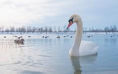 swans (38) (Vlado Ferenčić) Tags: swans lakes vladoferencic lakezajarki vladimirferencic zaprešić hrvatska croatia nikond90 tokina12244 winter animals animalplanet birds