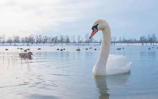 swans (38)