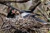 Anhinga (John Picken) Tags: anhinga bird chick corkscrewswampsanctuary florida nest picken usa wwwpickencom food feed feeding