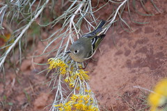 A bird in a bush in Arches National Park, Utah (Hazboy) Tags: hazboy hazboy1 utah arches national park moab october 2017 parc west western us usa america arch