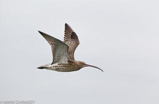 Eurasian Curlew/Crotach (Numenius arquata)