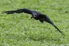 20171001_Courneuve_Corneille noire (thadeus72) Tags: aves birds carrioncrow corneillenoire corvidae corvidés corvuscorone oiseaux passériformes