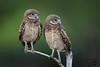 Double Trouble (Megan Lorenz) Tags: burrowingowl owl owlet bird avian birdofprey two pair nature wildlife wild wildanimals florida animal mammal mlorenz meganlorenz