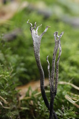 Candlestick Fungus - Xylaria hypoxylon (Björn S...) Tags: geweihförmigeholzkeule xylariahypoxylon candlestickfungus candlesnufffungus carbonantlers stagshornfungus xylairedubois pilz champignon mushroom fungo hongo
