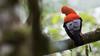 234.1 Rode Rotshaan-20171108-J1711-64819 (dirkvanmourik) Tags: andeancockoftherock aves birdsofperu bosquenublado carreteraamanu gallitodelasrocasperuano nevelwoud peru2017 reisdagcuscomanu roderotshaan rupicolaperuvianus vogel