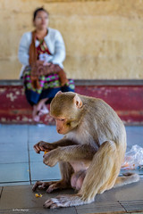 Monkry eating pilfered clementine - Mt. Popa, Myanmar (Phil Marion) Tags: myanmar burmese mon asian oriental buddhist philmarion candid woman girl boy teen 裸 schlampe 나체상 벌거 desnudo chubby nackt nu ヌード nudo khỏa 性感的 malibog セクシー 婚禮 hijab nijab burqa telanjang nude slim plump tranny sex slut nipples ass xxx boobs tits upskirt naked sexy bondage fuck tattoo fetish erotic lingerie cameltoe feet cock desi hindu japanese african khoathân latina khỏathân beach public swinger toy outdoor cosplay gay wife dick