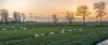 Swan country II (Jorden Esser (on a break)) Tags: nederlandvandaag middendelfland fencefriday grass hff polder sunset swan swans trees