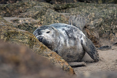 Lazy Sunday (Andrew Hocking Photography) Tags: greyseal sealcornwall sennen sleeping resting wildlife wild nature coast uk england asleep tired fluffy young juvenile pup animal seacreature